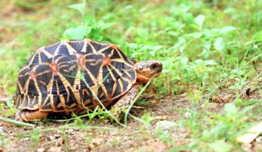 An Indian star tortoise in an outdoor enclosure