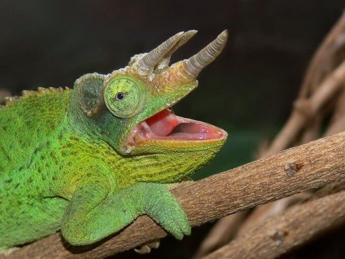 The Jackson's Chameleon species