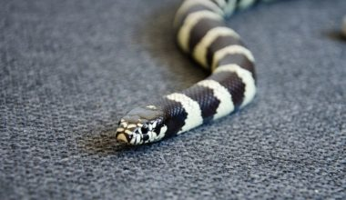 A cute king snake named royal