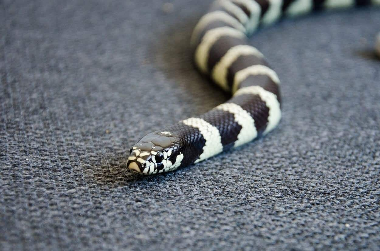 A cute king snake named royal