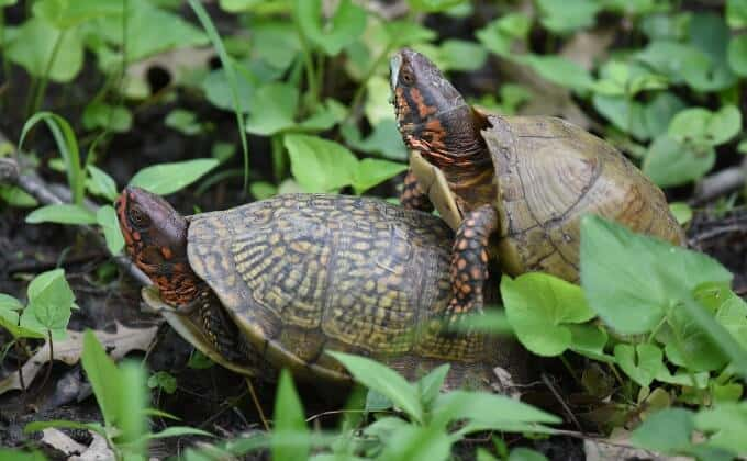 Male and female three-toed box turtles