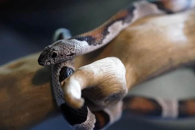 A male pet snake named climby