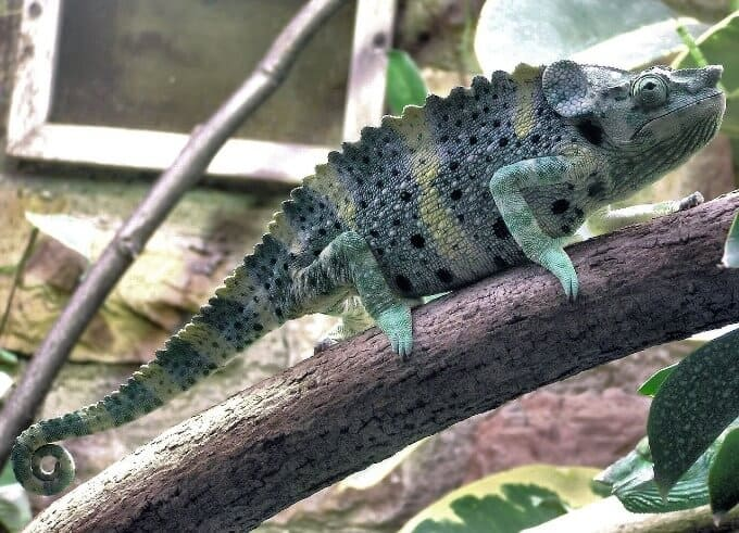 A unique type of chameleon known as Meller's