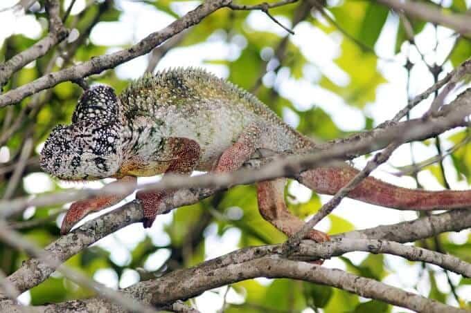An Oustalet's Chameleon climbing a tree