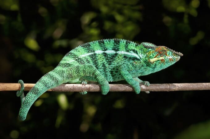 Panther Chameleon resting in a tree
