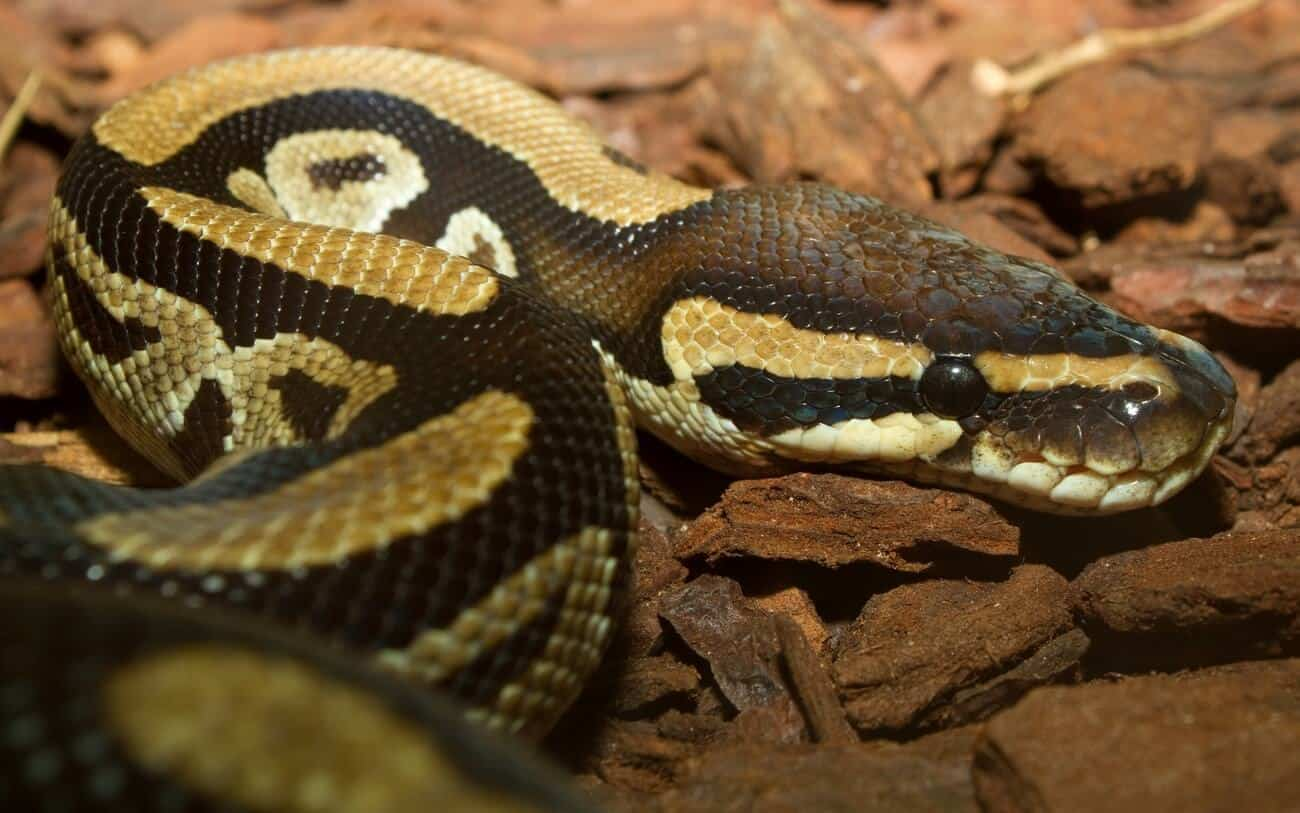 A pet snake with mites