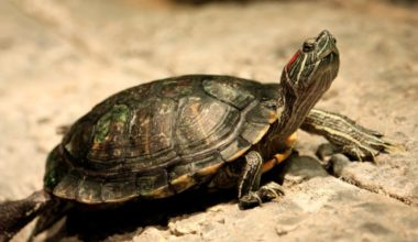 Red-eared slider basking in a tank
