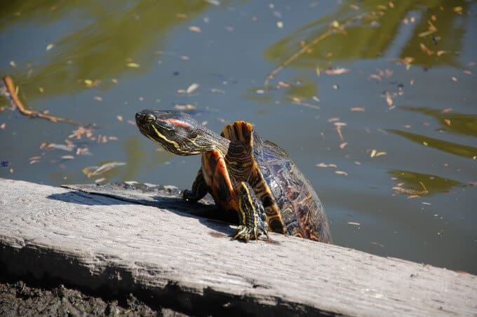 A red-eared slider climbing out of the water