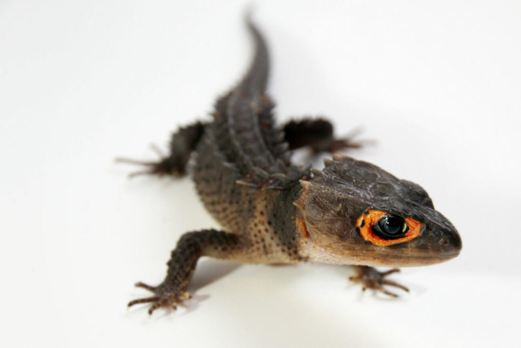 Red-eyed crocodile skink walking