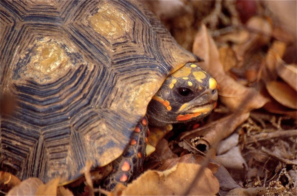 A red-footed tortoise hiding outside