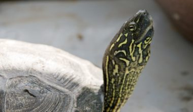 A pet Reeve's turtle basking