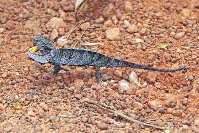 A small type of chameleon called the Senegal