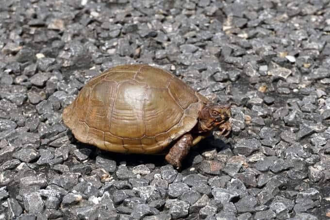 A three-toed box turtle outside