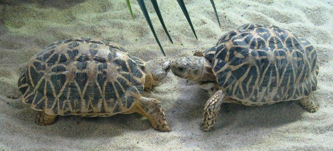 Two Indian star tortoises investigating each other
