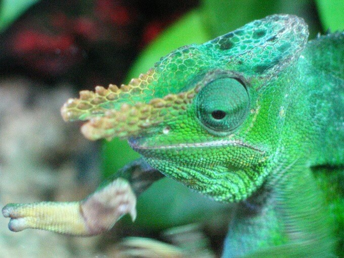 Close up of the face of a Fischer's Chameleon