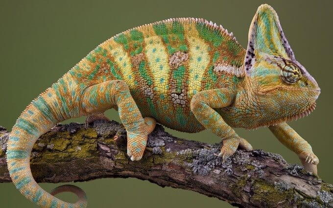 The popular Veiled Chameleon walking on a branch