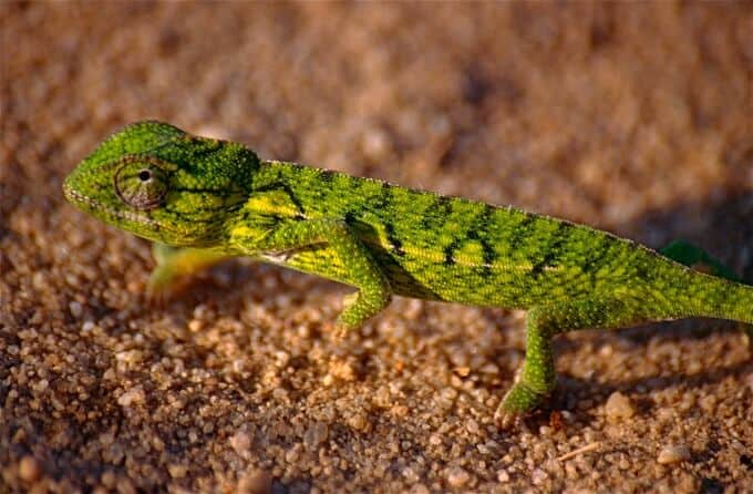 A young carpet chameleon walking along the substrate