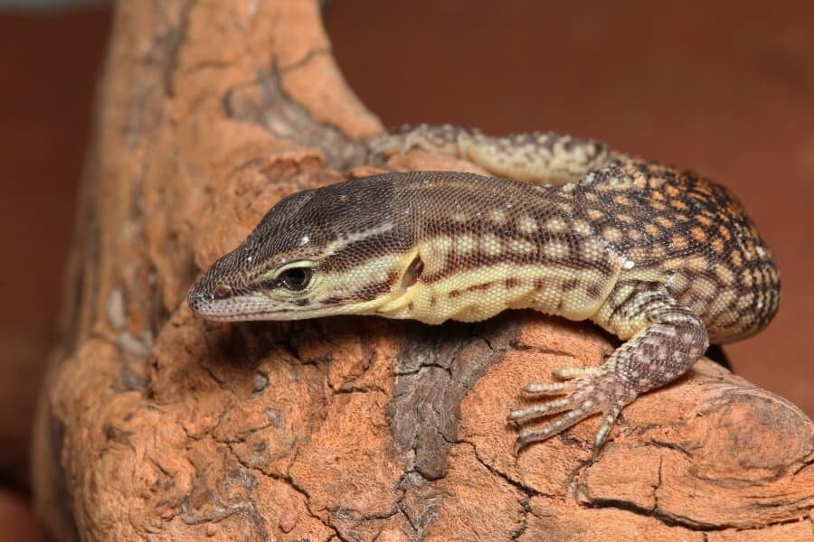 A type of lizard called the Ackies monitor