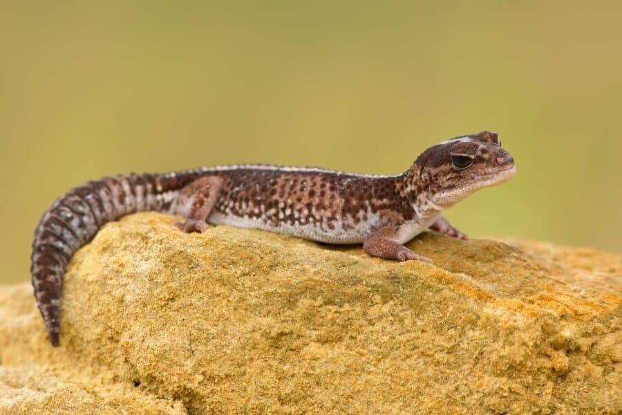 A pet African fat-tailed gecko lizard