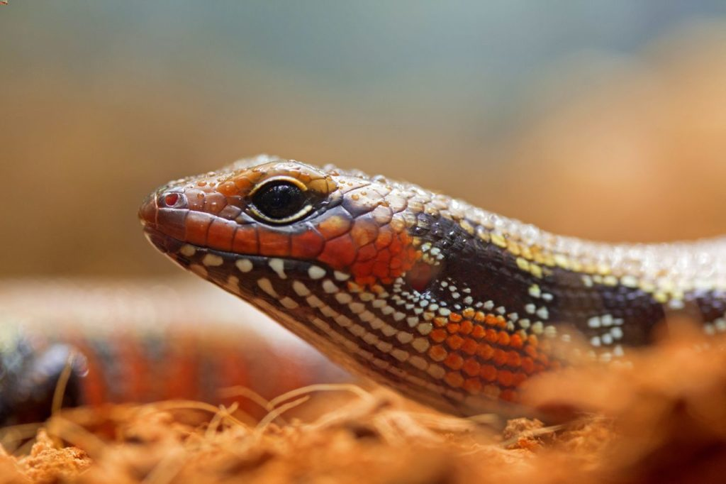 African fire skink waiting for food on the substrate