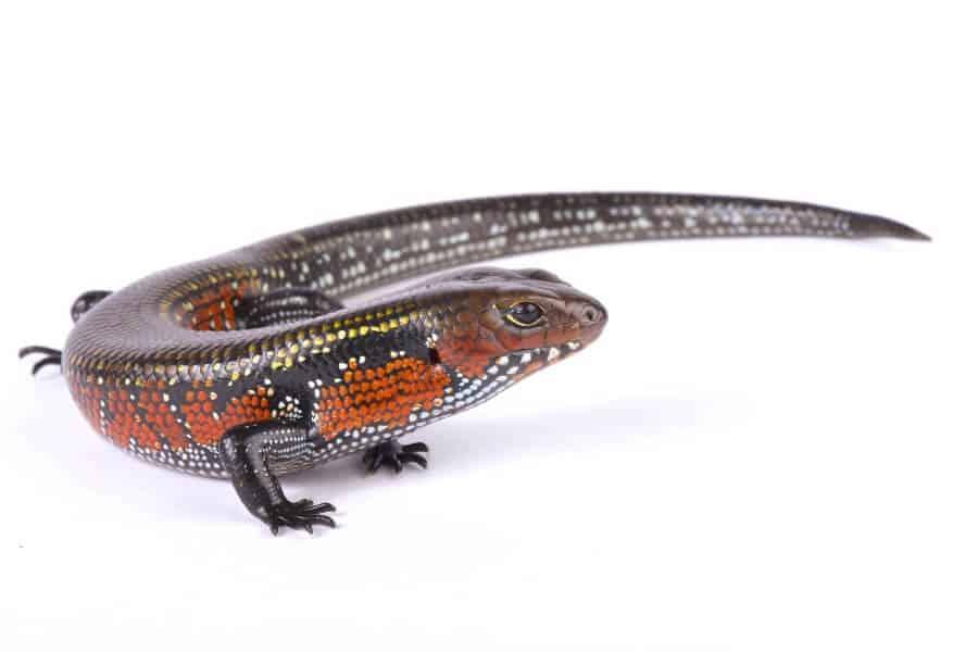 An African fire skink pet lizard