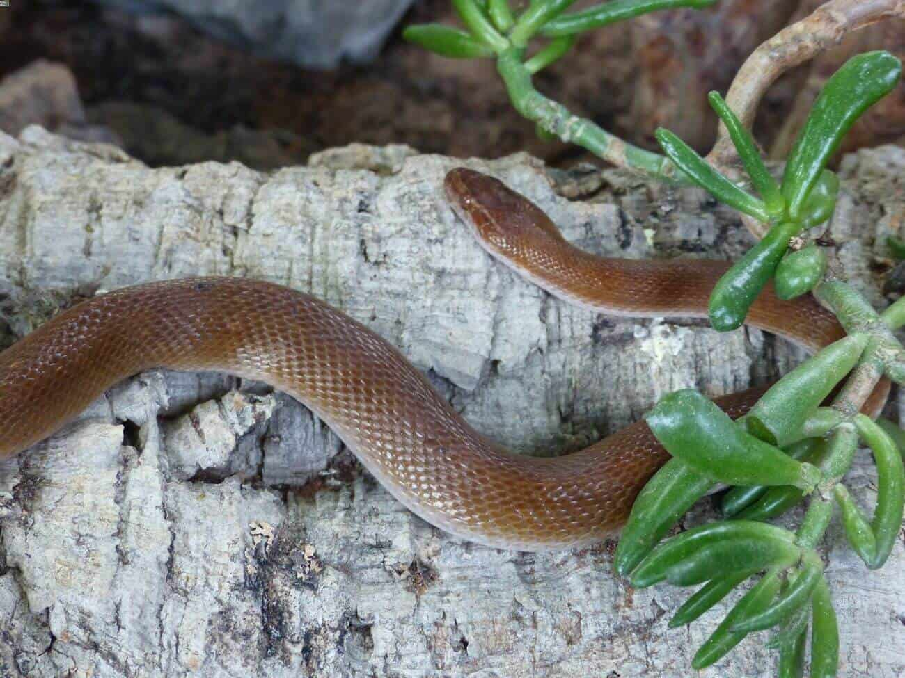 African house snake basking on a rock