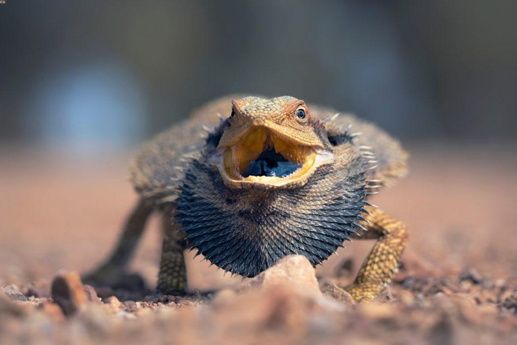 An angry bearded dragon