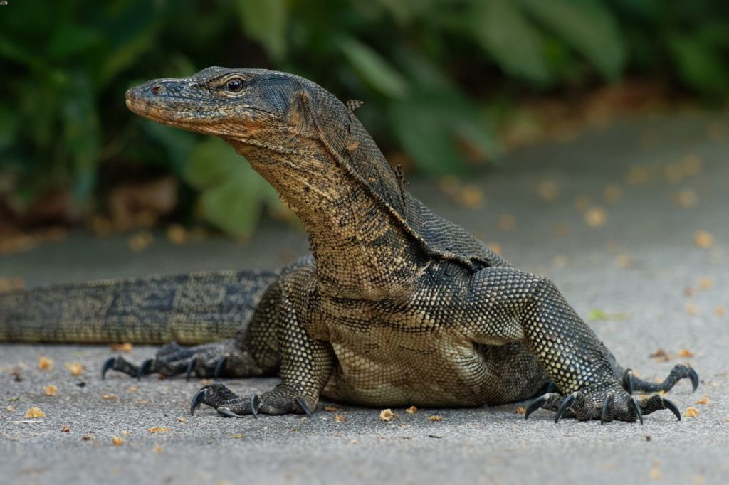 Asian Water Monitor 101: Care, Size, Lifespan & More!