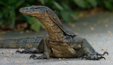 Asian water monitor outside