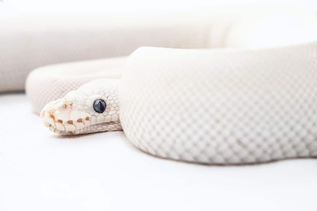 A ball python that's not eating