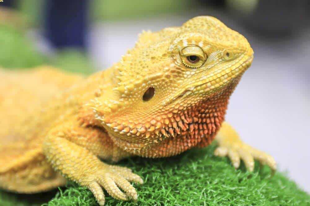 A bearded dragon on artificial bedding