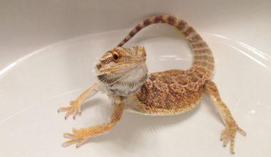 A bearded dragon taking a bath