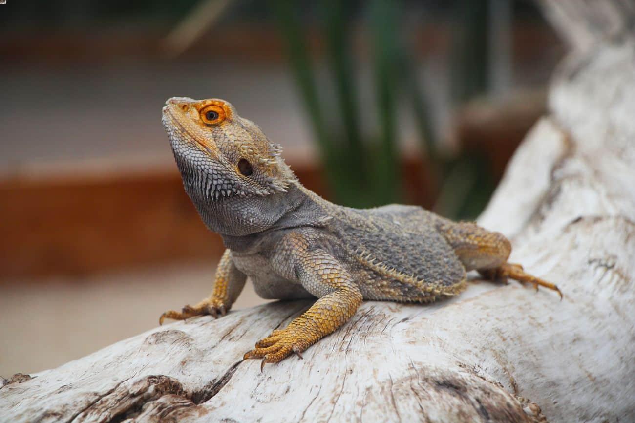 A bearded dragon enjoying a long lifespan