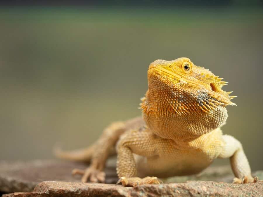 A pet bearded dragon lizard basking
