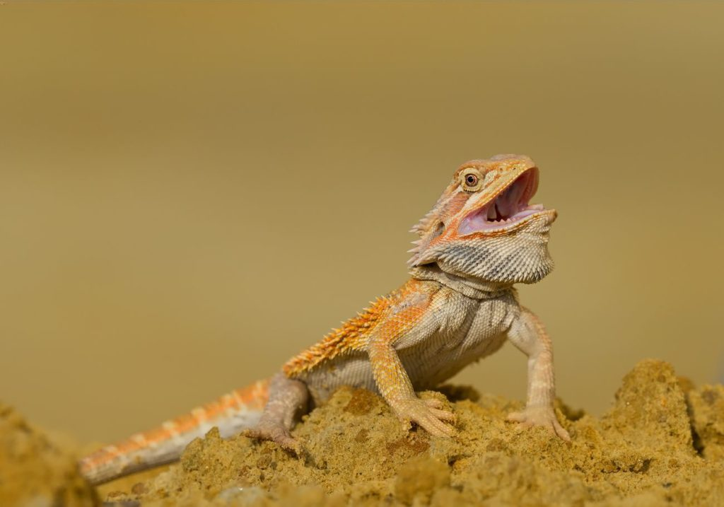 A basking bearded dragon with an open mouth