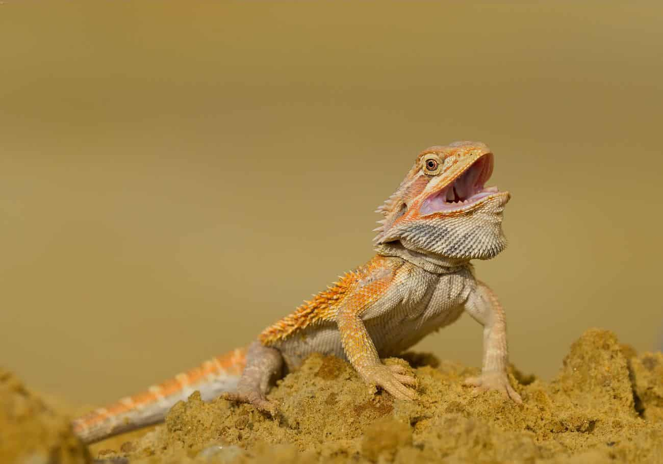 A bearded dragon with an open mouth
