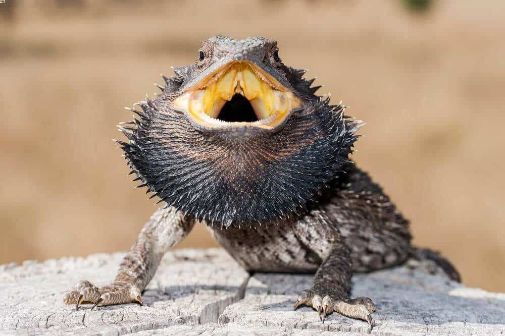 An angry bearded dragon holding its mouth open