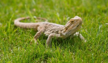 A bearded dragon taking a break from indoor substrate