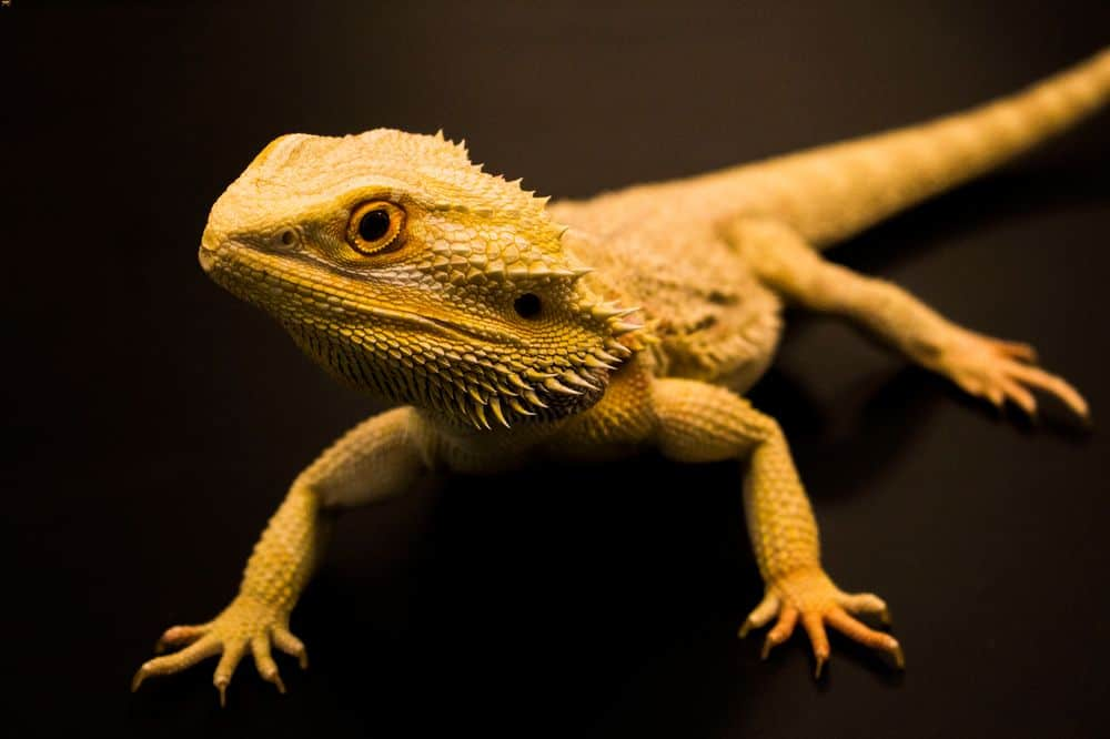 A bearded dragon on tile substrate