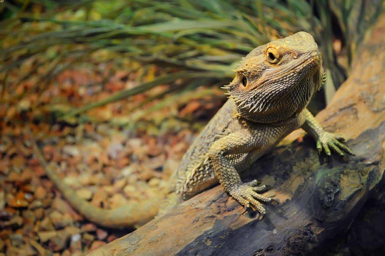 Pet bearded dragon waiting to eat a grape