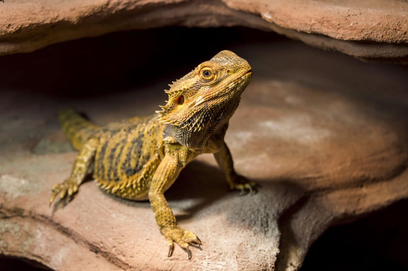A pet bearded dragon with a good name
