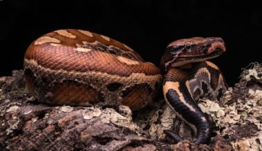 Blood python inside a properly-made habitat