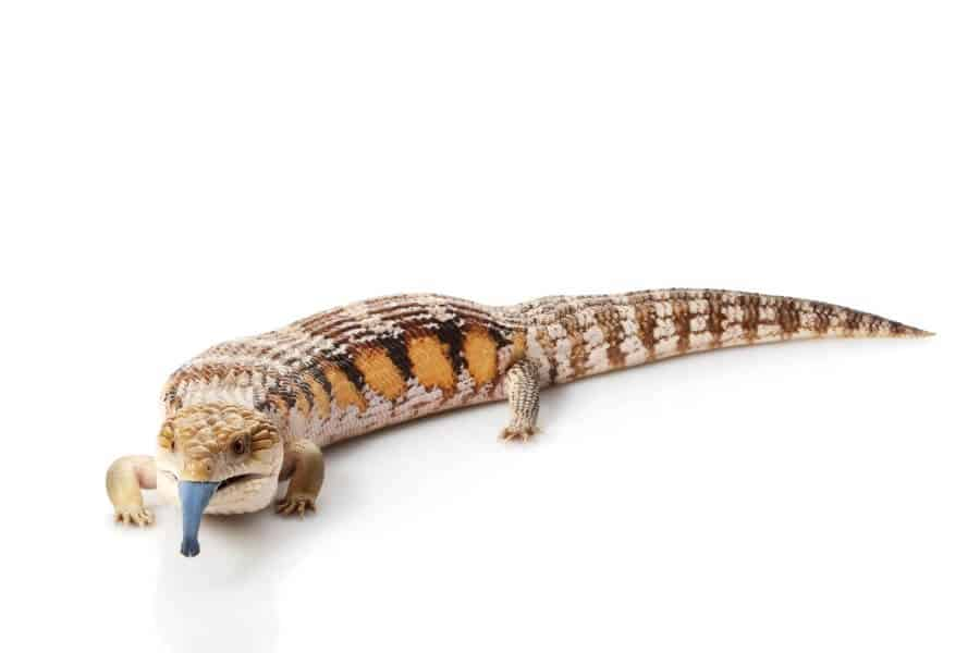 A type of lizard called the blue-tongue skink