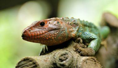 A pet caiman lizard