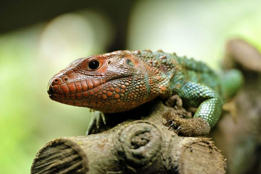 One of the best pet lizards called the caiman lizard