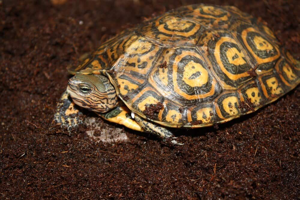 A Central American wood turtle outside