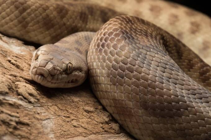 Children's python basking in an enclosure