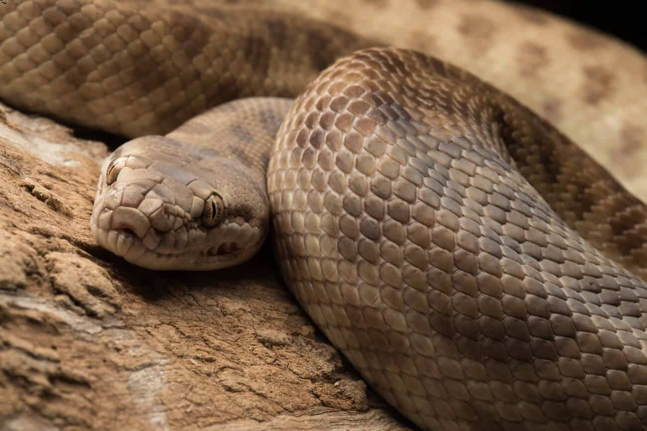 A coiled up Children's python