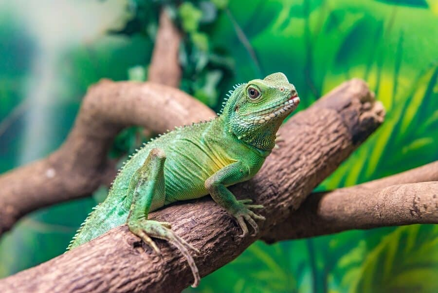 Type of lizard named the Chinese water dragon