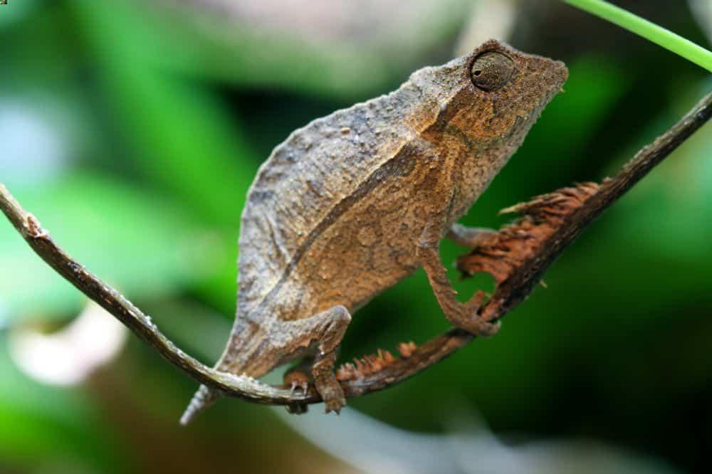 A climbing pygmy chameleon